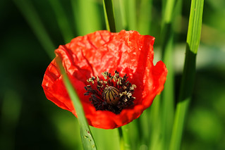 Poppy | by Sean Anderson Classic Photography