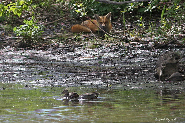 1.00419 Sarcelle d'hiver / Anas crecca carolinensis / Green-winged Teal