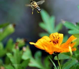 #bee #abeja #miel #polen #flor #nikon