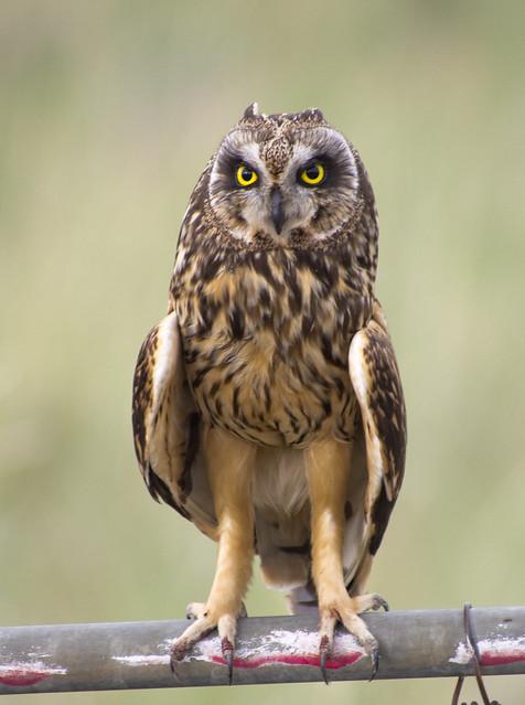 Short-eared Owl, Promontory, Boxelder Co., UT