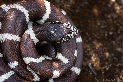 California Kingsnake (Lampropeltis californiae) | by Chad M. Lane