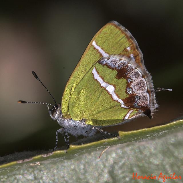 Mariposa Frotadora Banda de Plata