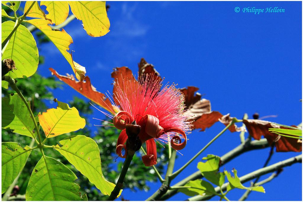 clôture d\'album ©Jardin botanique Deshaies | Bombax Pachira … | Flickr