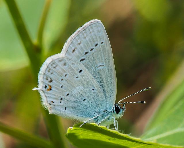 Western Tailed Blue - Cupido amyntula (Lycaenidae, Polyommatinae, Polyommatini) 118z-5241219