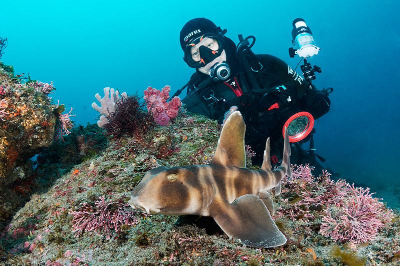 Japanese Bullhead Shark Japanese Bullhead Shark Heterodon Flickr