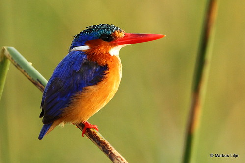 markuslilje ethiopia bird birds birding wildlife animals lakeawassa riftvalley malachitekingfisher perched kingfisher waterbird fishing corythorniscristatus