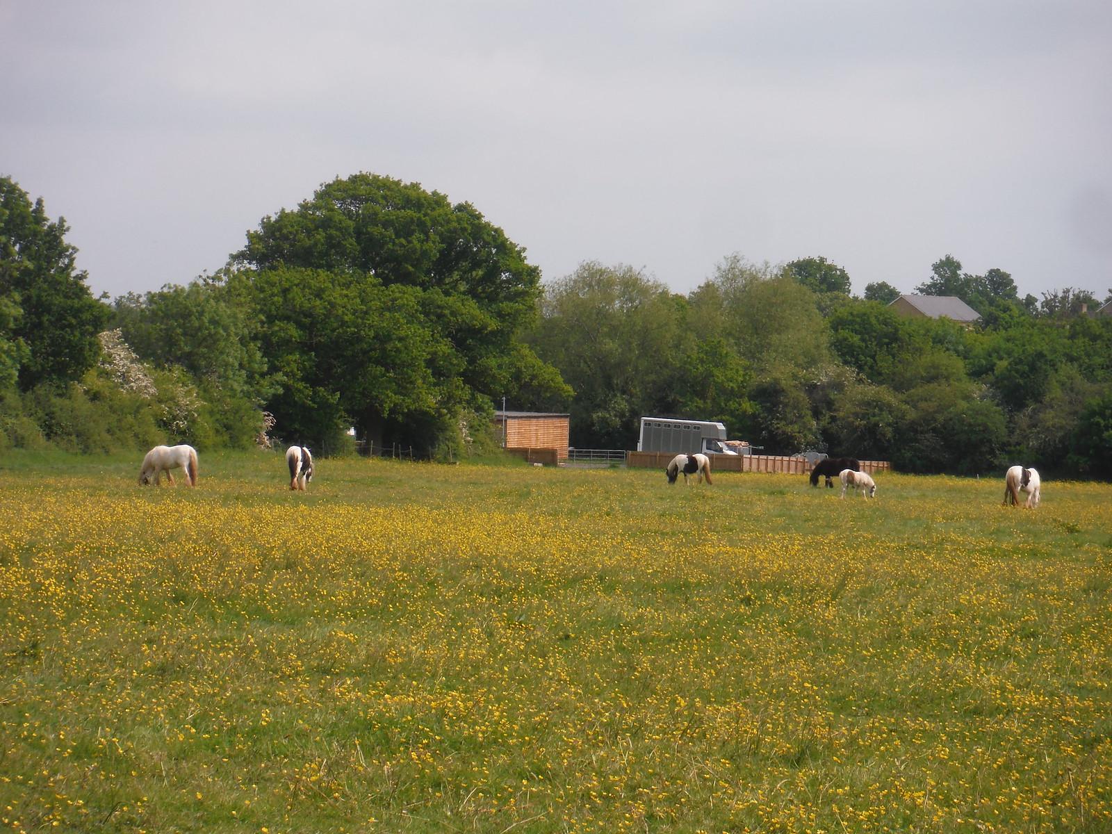 Horses in Wildflower Meadow SWC Walk 158 - Ingatestone to Battlesbridge or Wickford