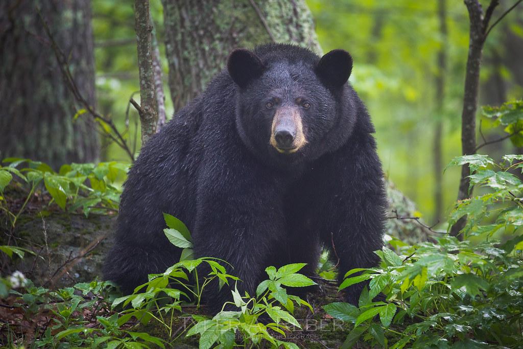 """Image result for big black bear"""""""