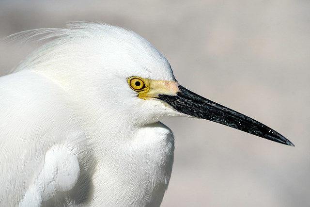 Snowy Egret - Bright