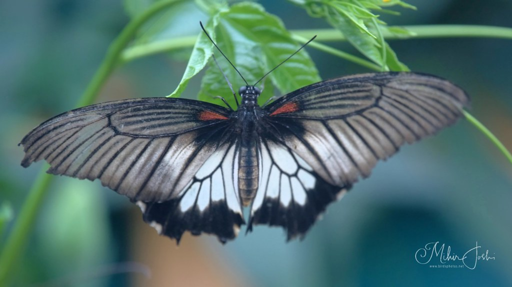 Great Yellow Mormon [Papilio lowii]