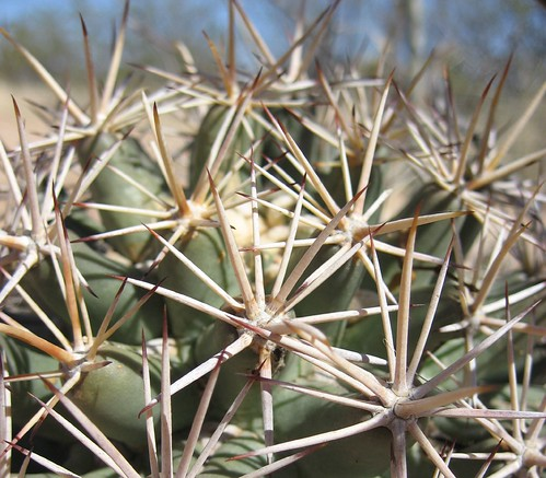 Pima pineapple cactus, closeup of spines and tubercles | by gwarcita
