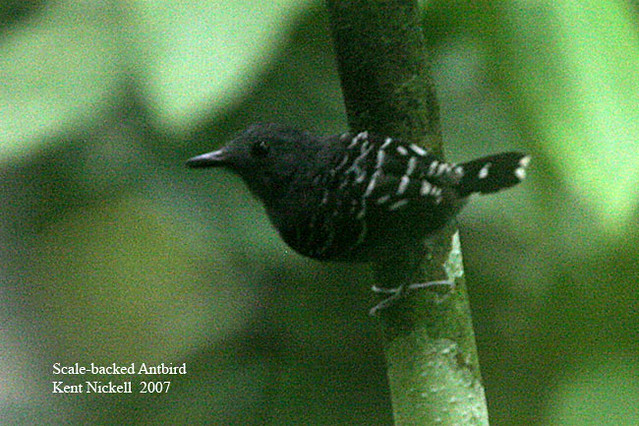 Scale-backed Antbird (Hylophylax poecilinotus)