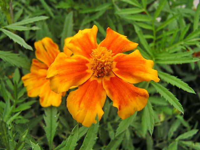 Flores Rumania 01