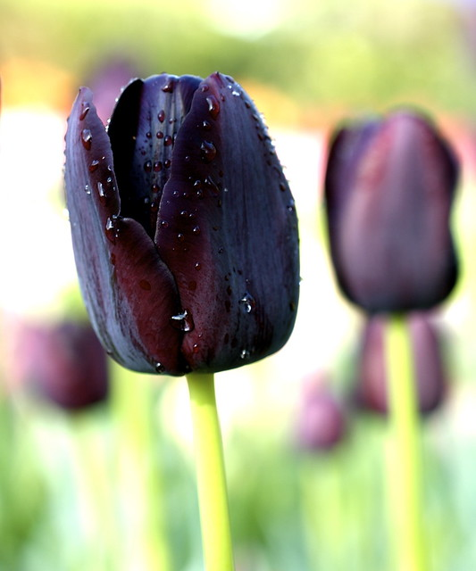 Luster of a wet petal