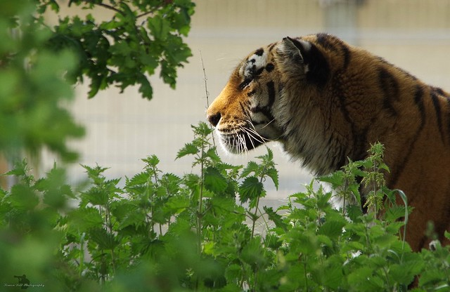 Amur tiger (4)