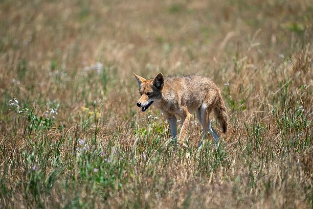 Coyote #106