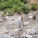 アマサギ(Cattle egret)