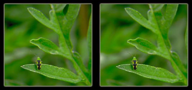Ornate Plant Bug 1 - Reuteroscopus ornatus - Parallel 3D