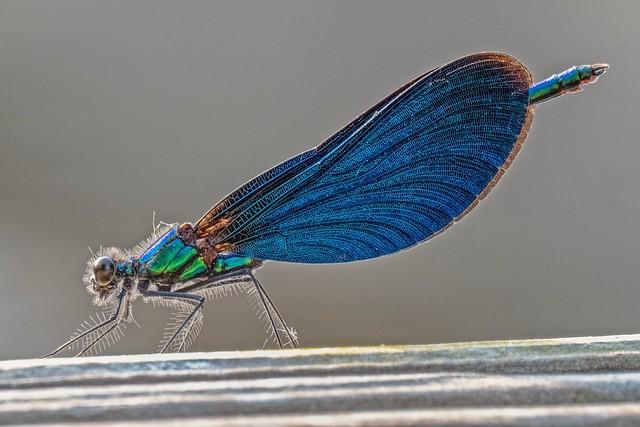 Blauflügel Prachtlibelle - Calopteryx virgo