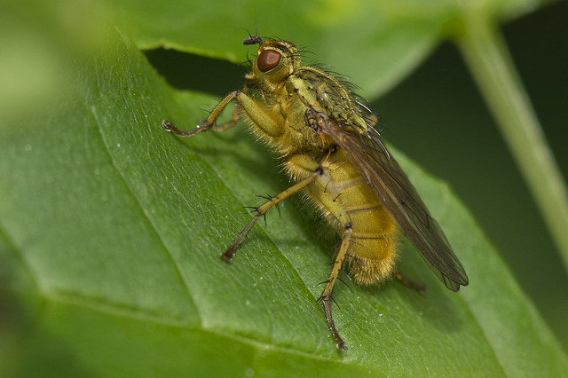 Yellow Bodied Dung Fly