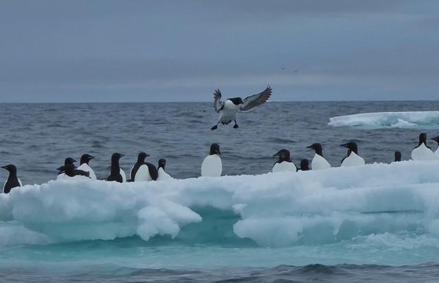 Svalbard es un paraíso para las aves marinas