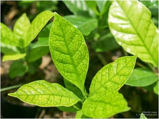 nutrient deficiency in plants | b inxee | Flickr