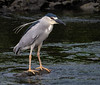Black-crowned Night-Heron (Nycticorax nycticorax) - Edwin B. Forsythe NWR, Atlantic County, New Jersey, USA by JFPescatore