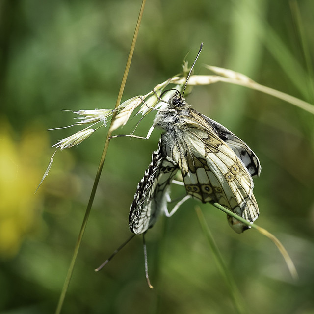 Marbled White pair