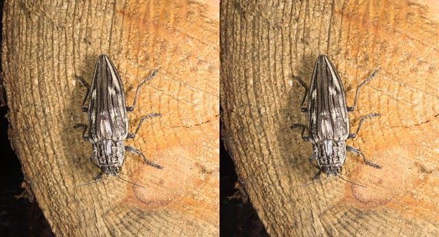 Chalcophora japonica, stereo cross view