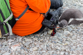 Gentoo Penguin Chick Checking Out Camera Strap on Cuverville Island in Errera Channel | by ppoggio2