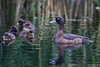 Tufted Duck, Aythya fuligula by Kevin B Agar