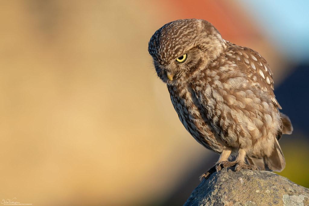 Little Owl On Alert