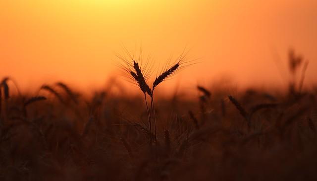 Les épis de blé au pays de Callie