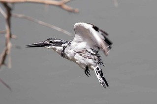Pied Kingfisher | by arthurpolly
