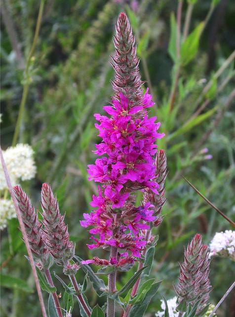Purple Loosestrife (Lythrum salicaria) 04-07-2018. Parc Slip, Aberkenfig, South Wales.