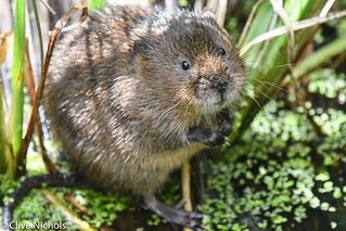 Water vole. he was to close.-1-2