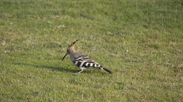 A hoopoe in Egypt's Fayoum