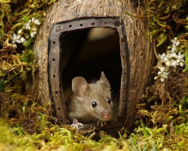 garden house mouse (9)