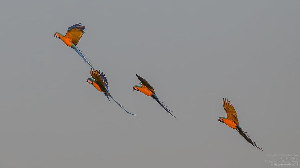 Blue-and-yellow Macaw (Ara ararauna) Nobres, Mato Grosso, Brazil 2017