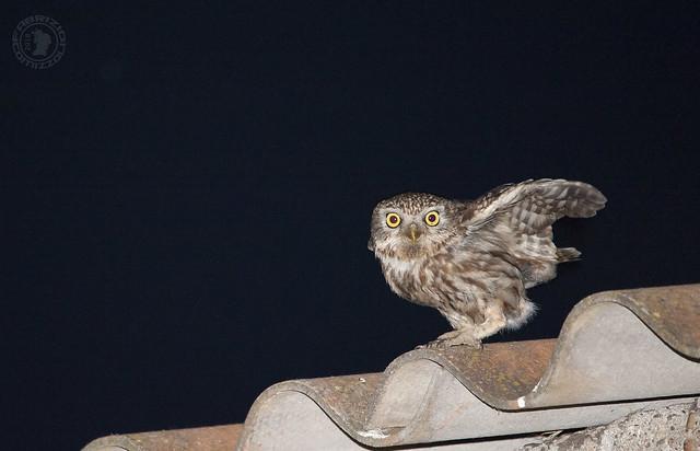 Civetta - Athene noctua