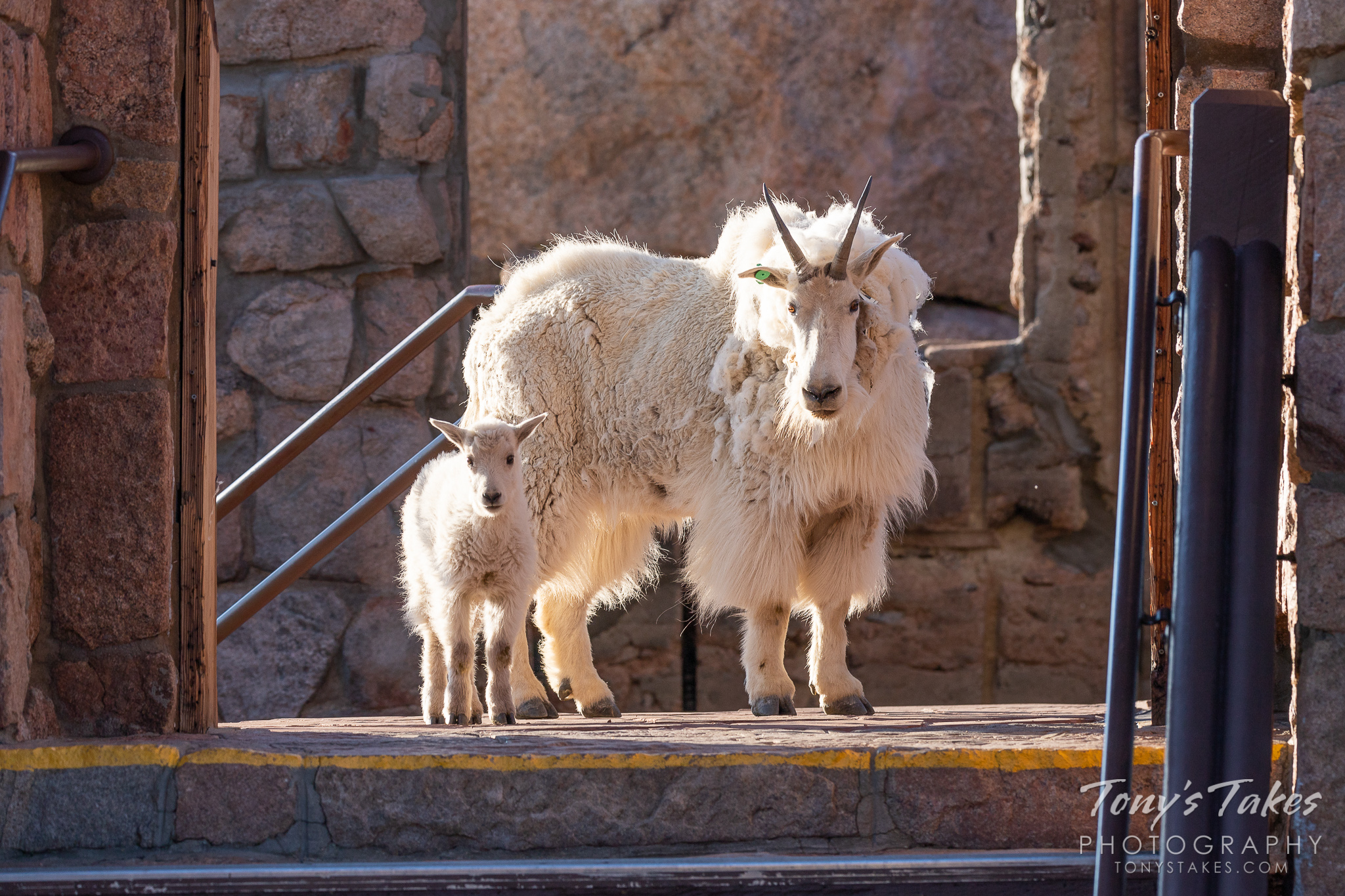 A Mountain Goat nanny and kid guard the remnants of the Crest House on top of Mount Evans in Colorado. (© Tony's Takes)