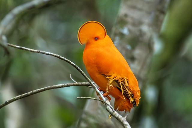 Galo-da-serra (Rupicola rupicola) macho DSC_3909#