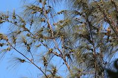 Casuarina equisetifolia (Beach Sheoak) - cultivated