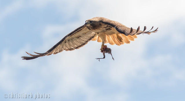 Cornell Red-tailed Hawk, Big Red with Blue Jay nestling (June 2018)