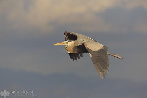 bird birds heron herons greatblueherons greatblueheron flight flying sky sunset sunrise wings california huntingtonbeach wildlife shorebirds shorebird