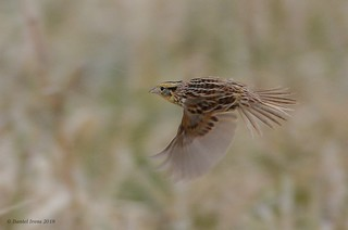 Leconte's Sparrow (rare) | by Danielirons02