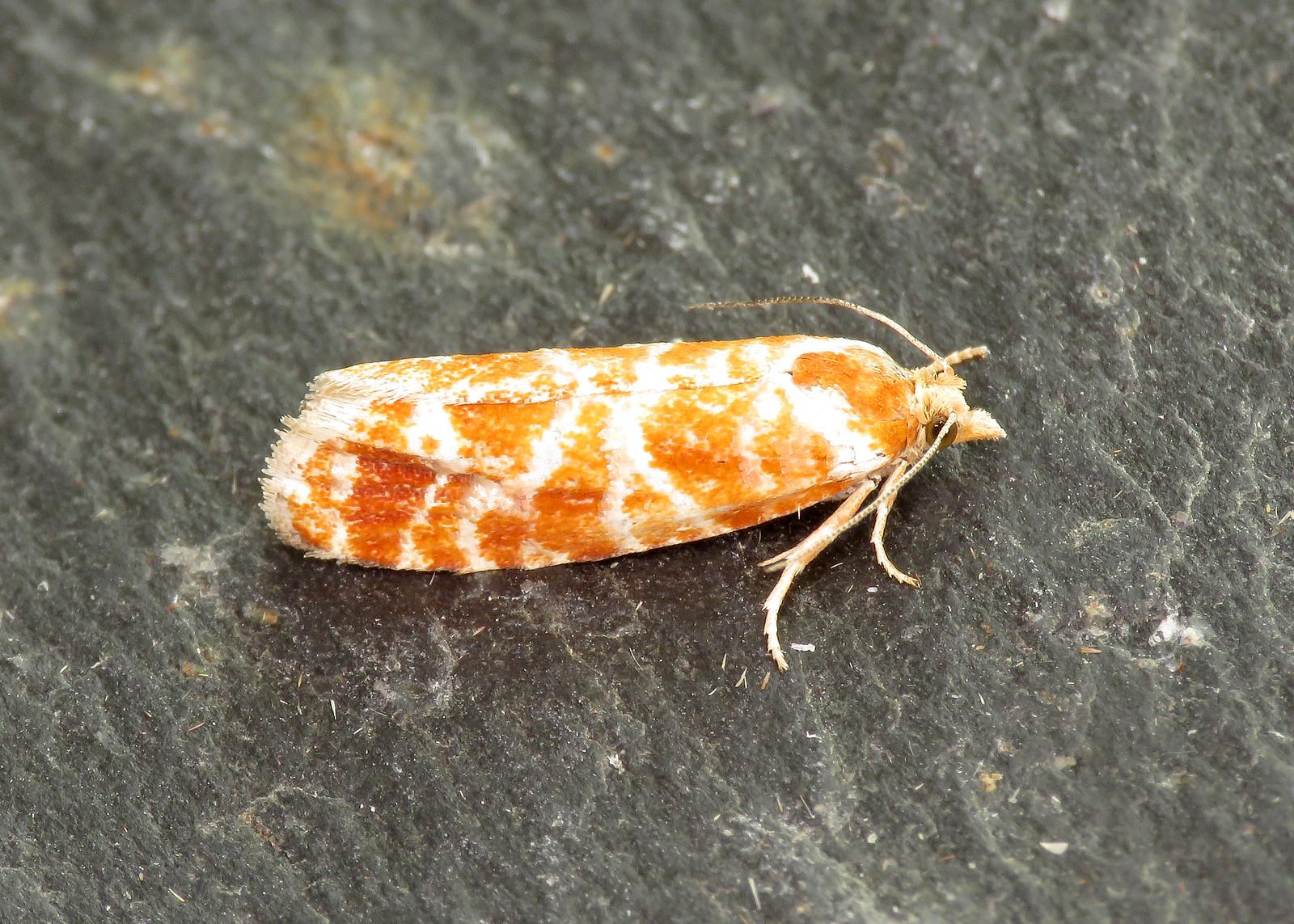 49.305 Pine Shoot Moth - Rhyacionia buoliana