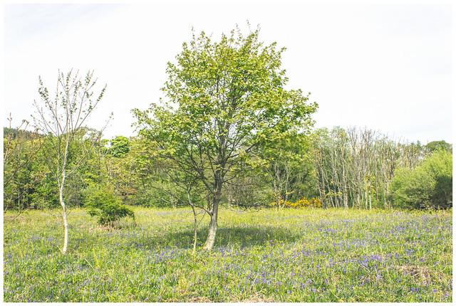 Tree & Bluebells, Kilcreggan