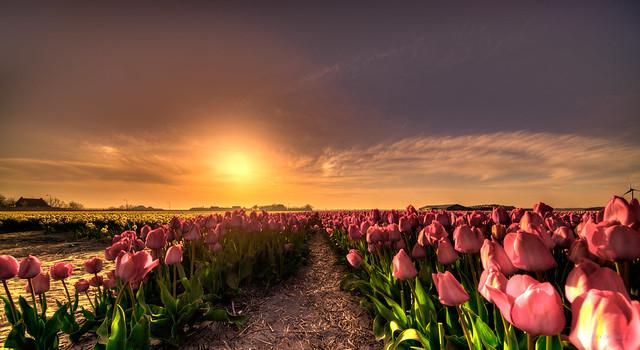 Sunset over fields of Dutch speaking tulips.