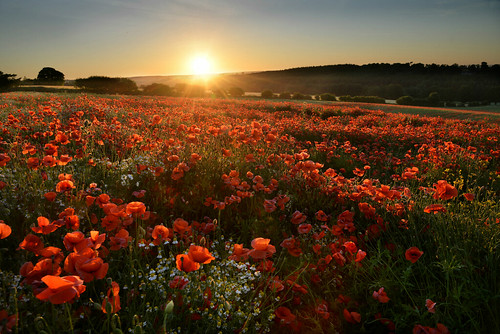 terrington northyorkshire poppies poppy field crop sunset seaofred flowers nofllters